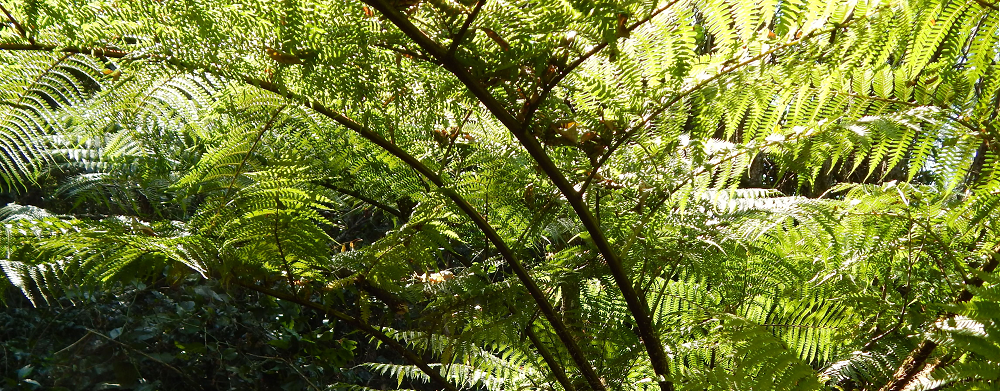Tree Fern in Gardens